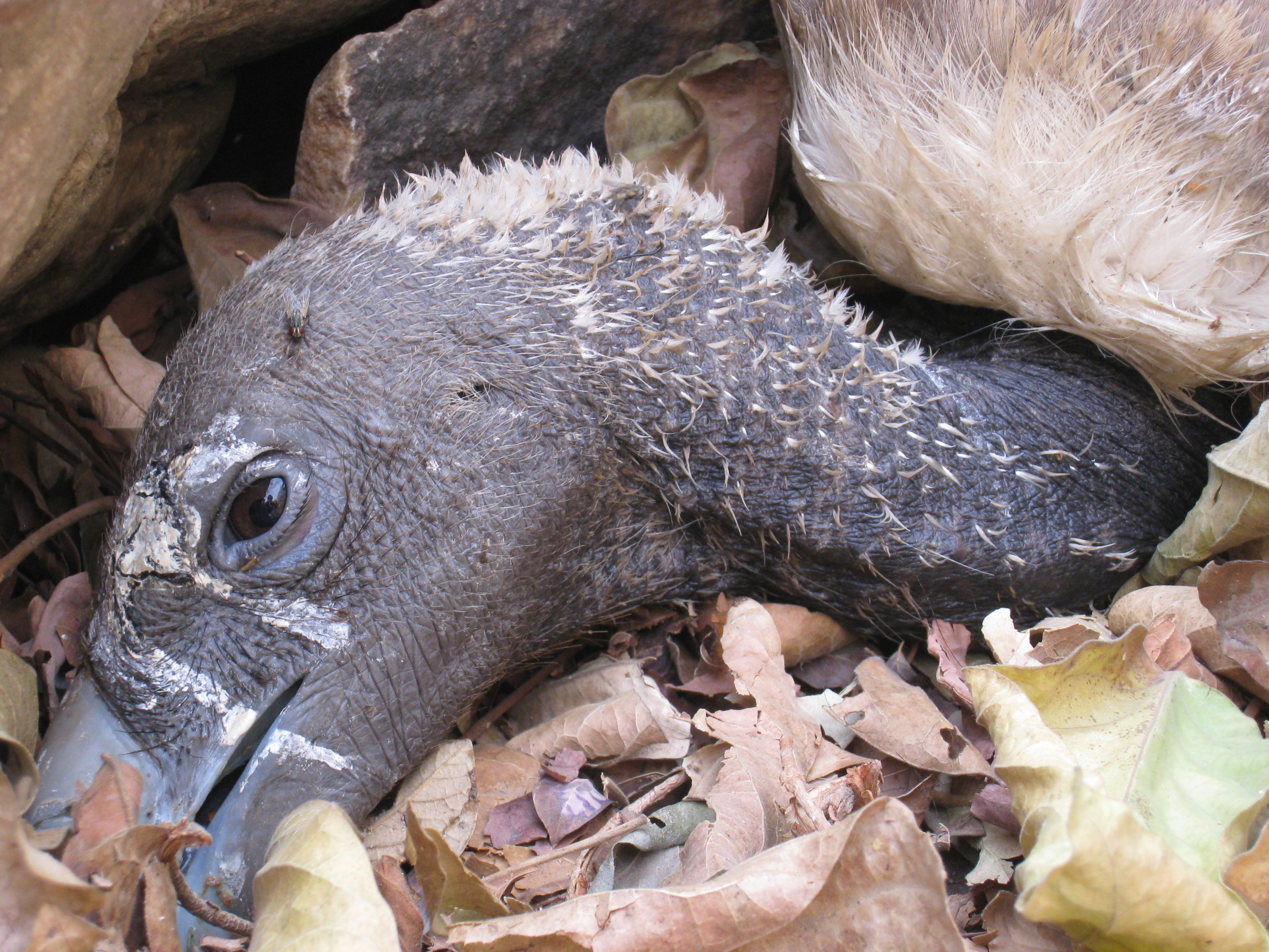 sick long-billed vulture in India